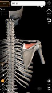 棘上筋(肩腱板筋群の一つ) 引用:解剖学-3Dアトラス