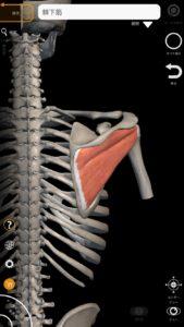 棘下筋(肩腱板筋群の一つ) 引用:解剖学-3Dアトラス
